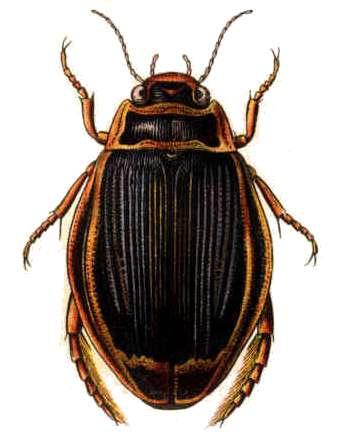 coleopteraadefago