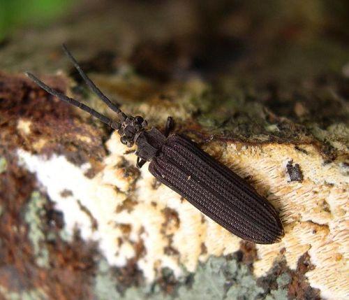 coleopteraarchostomata