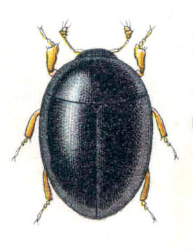 coleopteramixofago