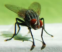 dipteromosca