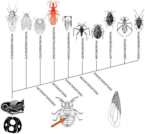 heteroptera_cladograma
