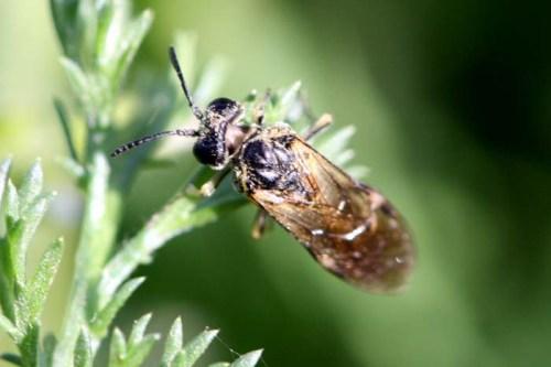 himenopterosinfito