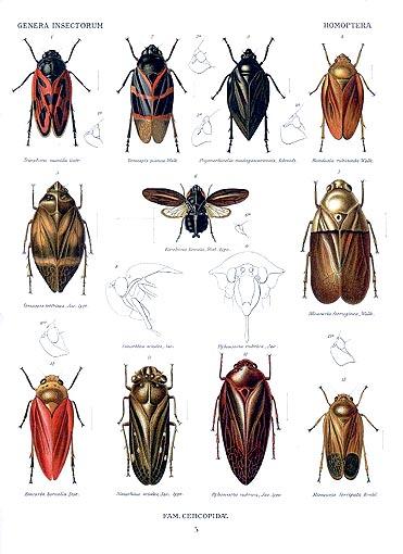 Homoptera.triecphora
