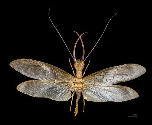 megalopteroCorydalus_cornutus