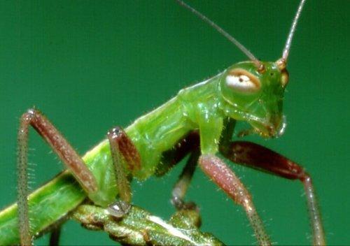 notopteraAustrophasmacaledonensis