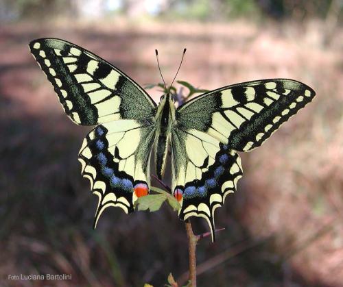Papilio-machaon