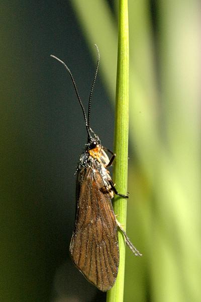 tricopteroLepidostomahirtum