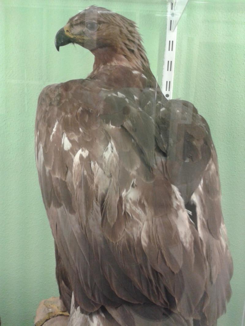 Aguila3AquilaChrysaetos