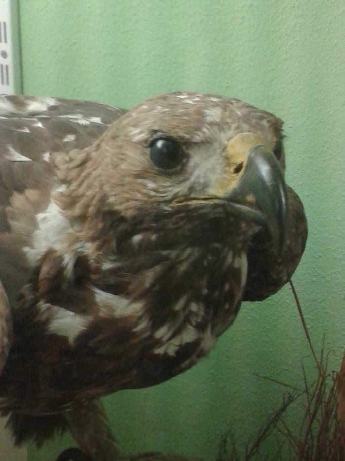 Aguila2AquilaChrysaetos