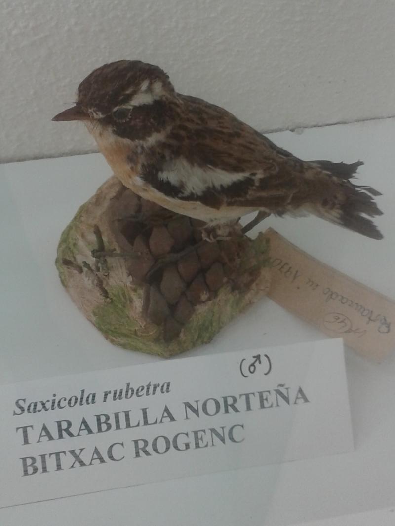 TarabillanorteñaSaxicolaRubetra