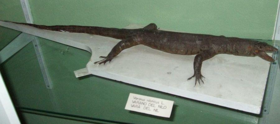 VaranusNiloticus