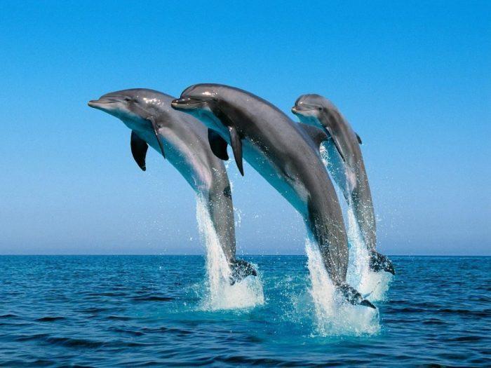 delfines-saltando-en-el-mar